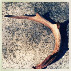 Deer antler that found me today.